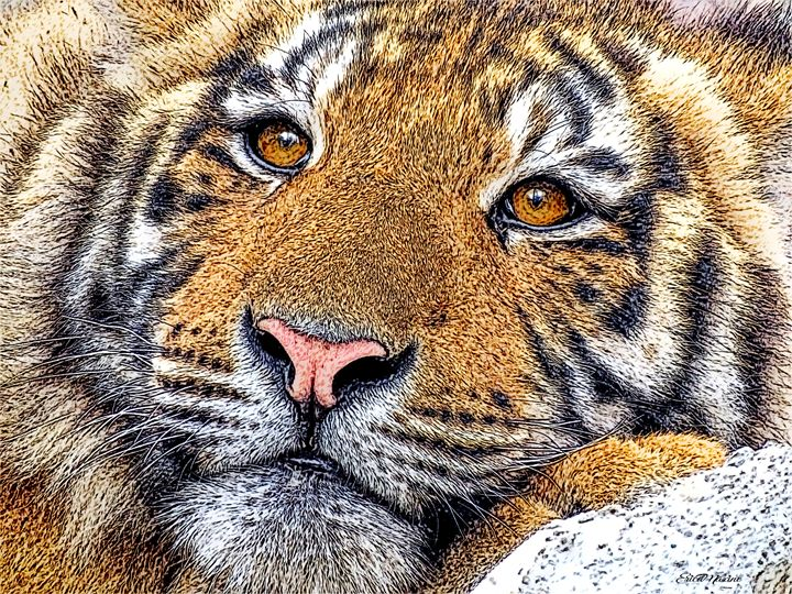 Tiger Portrait - Color Sketch - White Roe Art and Design