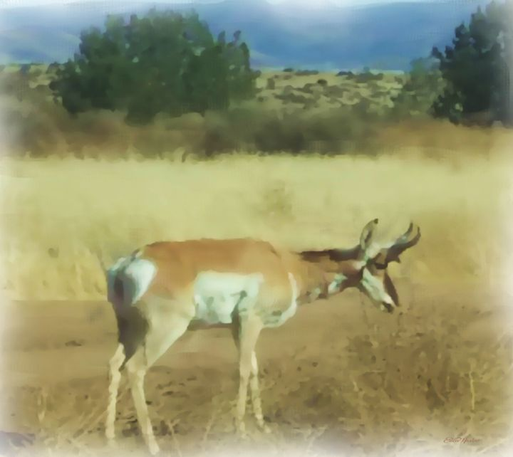 Pronghorn Antelope Arizona - Painted - White Roe Art and Design