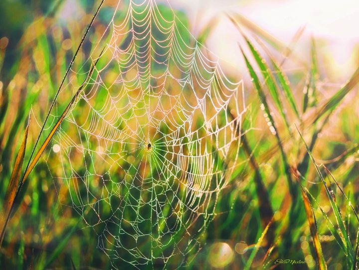 Spider Web Glowing In The Morning Su - White Roe Art and Design