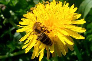 Golden bee, working for me