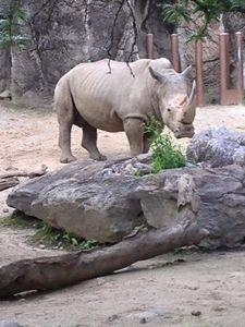 Rhino - Ayeisha Allen