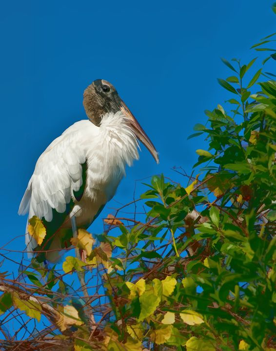 Wood Stork in a Tree - Delores Knowles