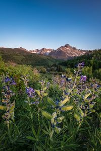 Mount Sneffels Wildflowers Colorado