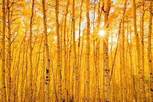 Aspens Of Autumn Colorado Forest