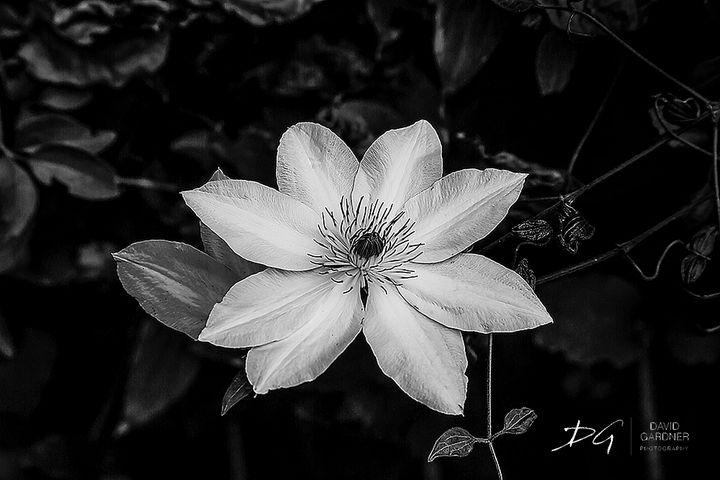 Clematis at Biltmore - David Gardner Photography