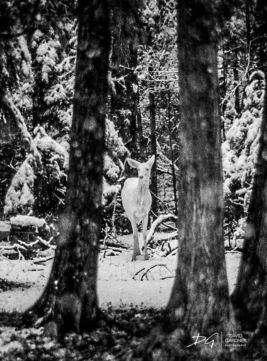 White Doe, Marquette - David Gardner Photography