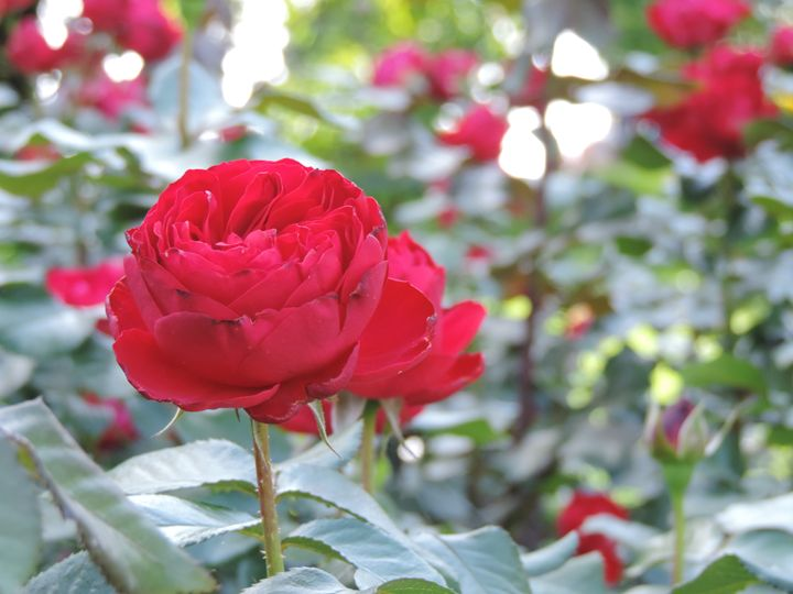 red rose - nogart