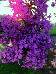 Dark Lilac Photo