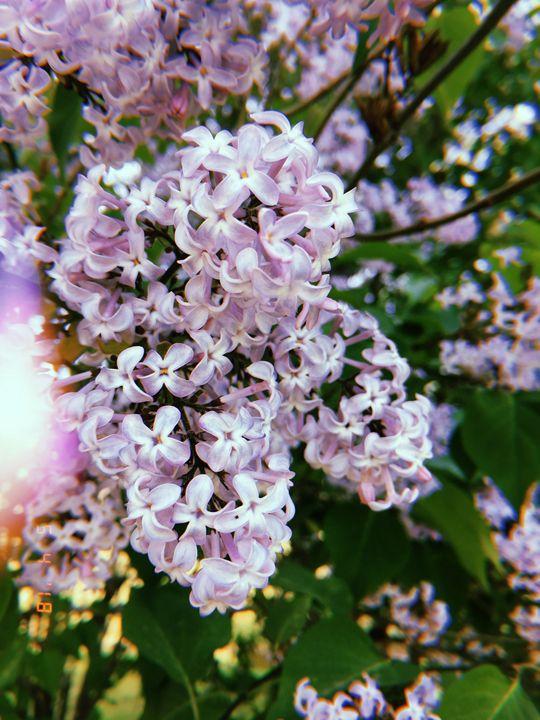 Light Lilac Photo - Huckleberry Hobby
