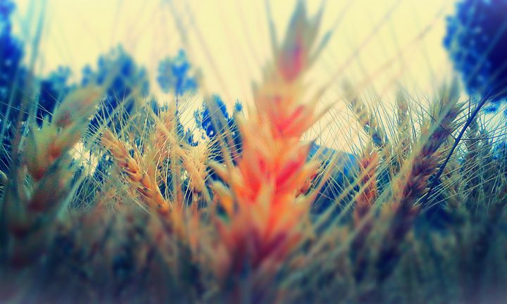 Wheat Scene - Wonderful World
