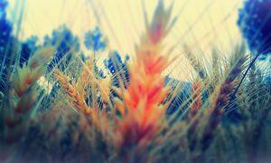 Wheat Scene