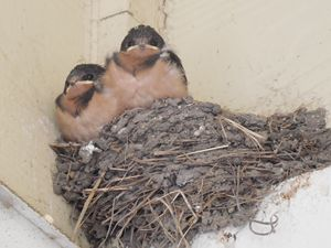 Swallow Nest - GreyFox Crafts