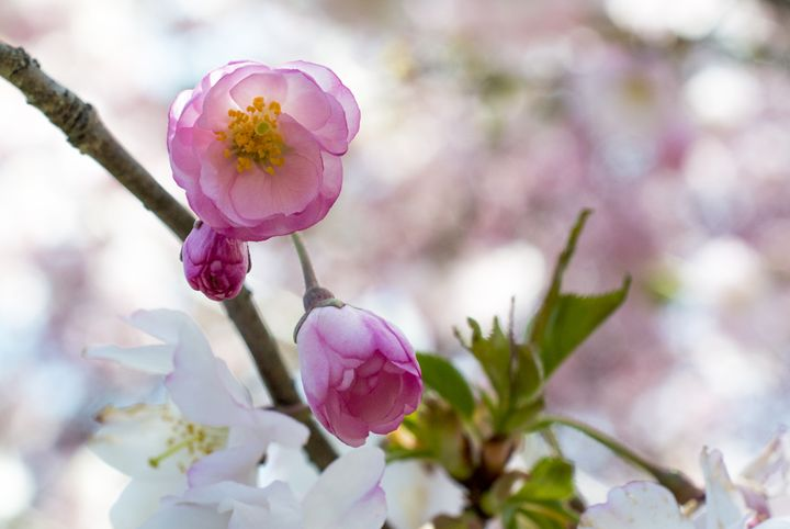 Cherry Blossoms Pink - Justin Masanque