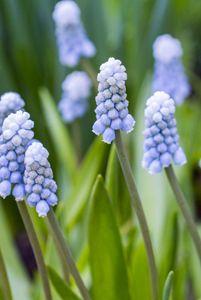 Baby Blue Grape Hyacinth