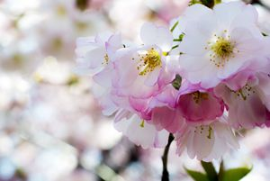Cherry Blossoms Pink and White