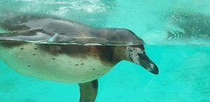 Humboldt Penguin - Patrol & Protect