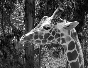 """""""Giraffe Waiting"""" - C. Fay Fine Art"""