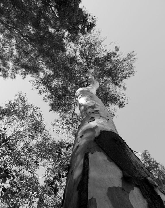 Birch Tree - C. Fay Fine Art