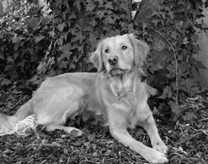 Golden Retriever Ivy Tree 2