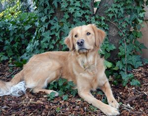Golden Retriever Ivy Tree