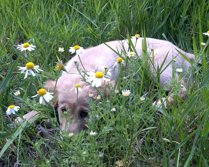Puppy Resting in the Daisies - C. Fay Fine Art