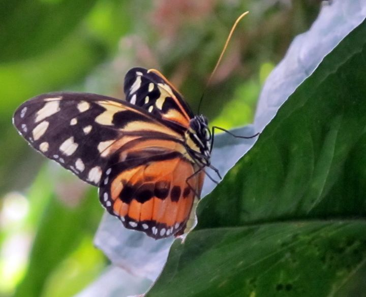 Painted Lady Butterfly - C. Fay Fine Art