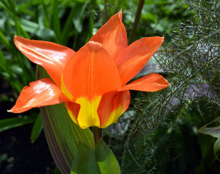 """Fire Tulip 1"" - C. Fay Fine Art"