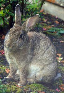 """Wild Resident Rabbit 2"" - C. Fay Fine Art"