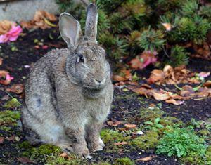 """ Wild Resident Rabbit"" - C. Fay Fine Art"