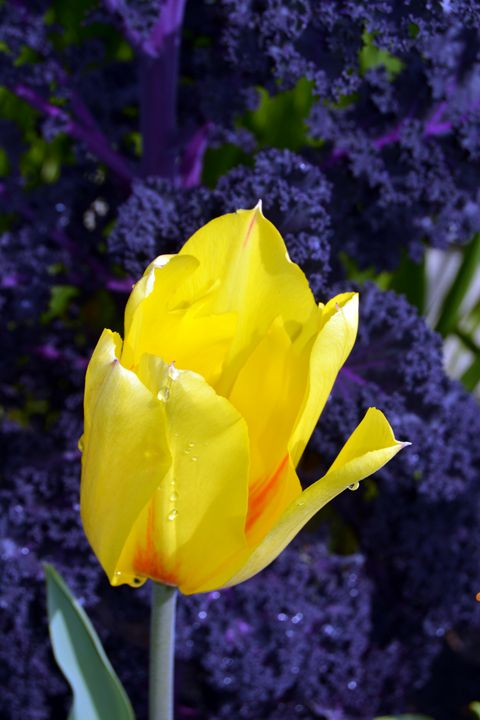 """Yellow Tulip"" - C. Fay Fine Art"