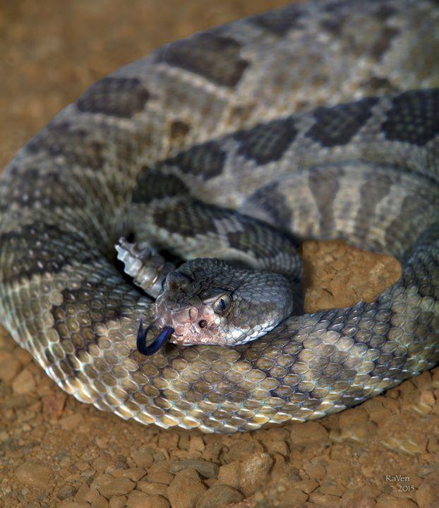 Mojave Rattlesnake Crotalus scutulat - Steampunk