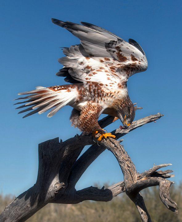 Ferruginous hawk (Buteo regalis) - Steampunk