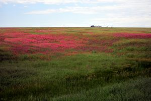 Field of Pink Flowers