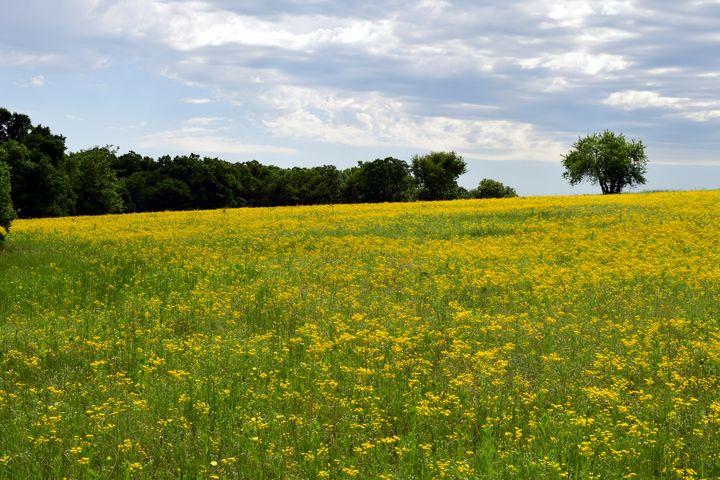 Yellow Meadow - Rachael Beauchamp