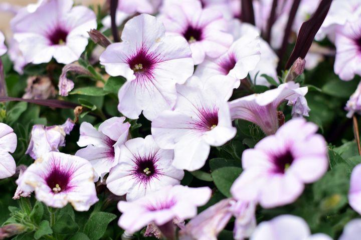 White Petunia - Rachael Beauchamp