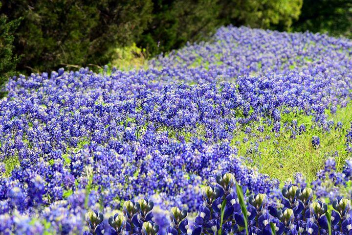 Field of Bluebonents - Rachael Beauchamp