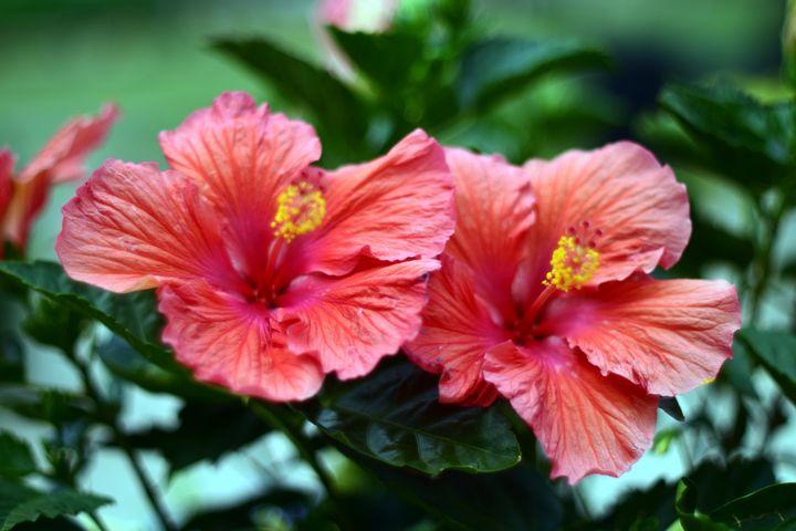 Pink Hibiscus - Rachael Beauchamp