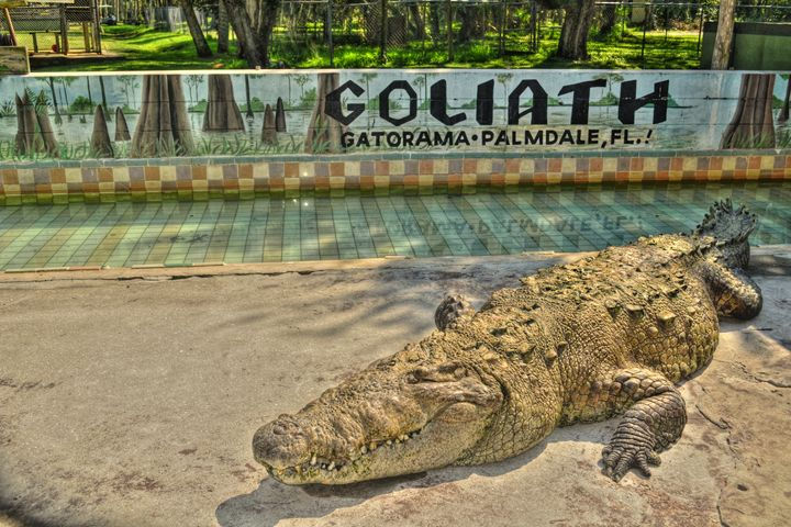 Giant Crocodile - Caldwell Gallery