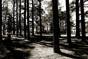 among the pine