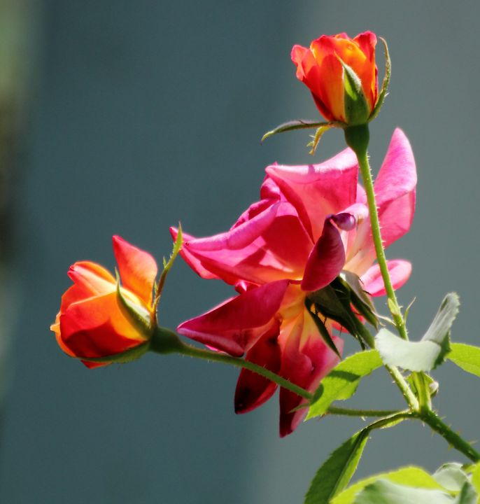 This Multicolor Red and Yellow Roses - hgmielke