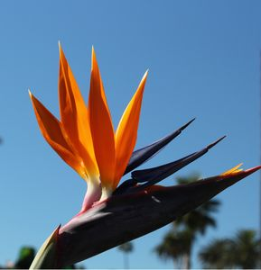 Elegance Bird of paradise flower