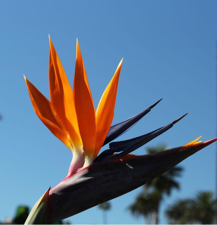Elegance Bird of paradise flower - hgmielke