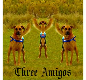 Three Amigos my neighbors dogs