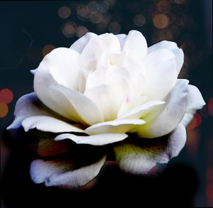 Elegant White Rose.