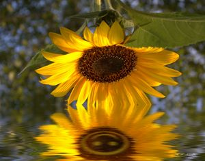 Good Morning Sunflower Reflection