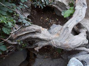 Root , Centenial Park