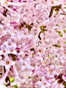 Lilac Madness