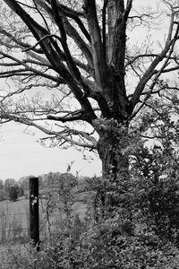 Lone Maple