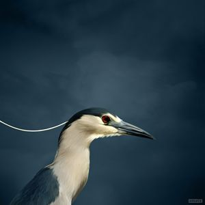 Black Cap Heron