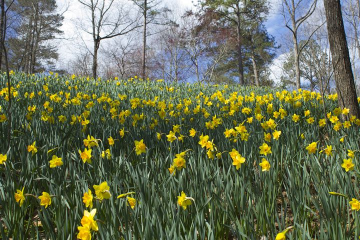 Yellow Daffodils on a Hill - Fairy Creek Photography